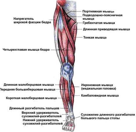 Мышцы бедра разделяют на