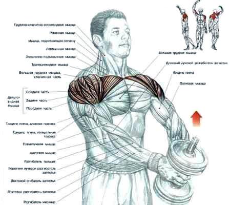 Упражнения с гантелями для грудных мышц в домашних условиях