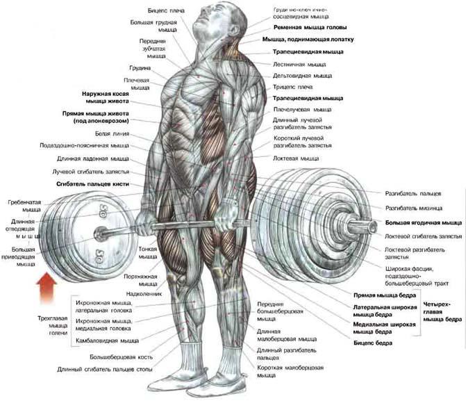 Мышца широкая